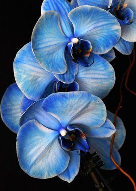 orquídea azul - orquídea azul rajada