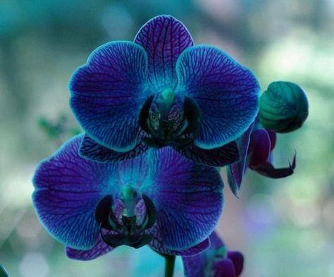 orquídea azul - orquídea azul simples