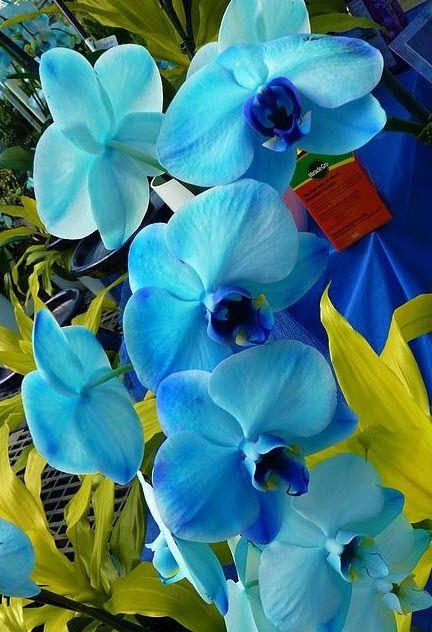 orquídea azul - orquídeas azuis