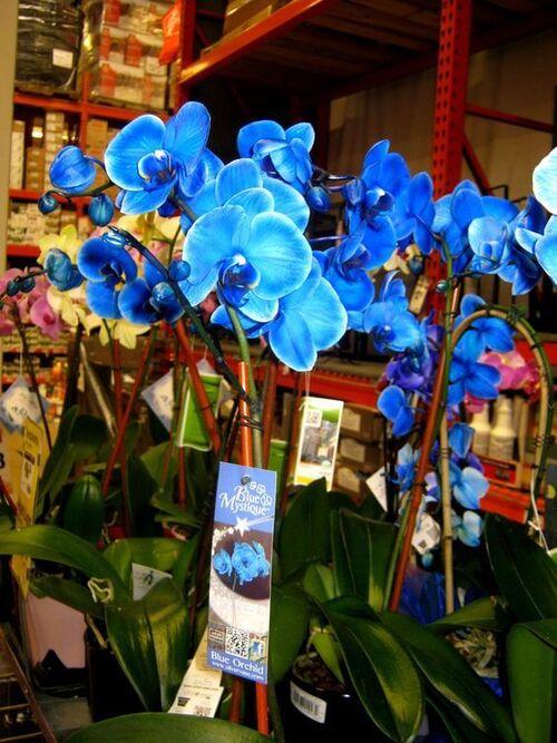 orquídea azul - orquídeas azuis para venda