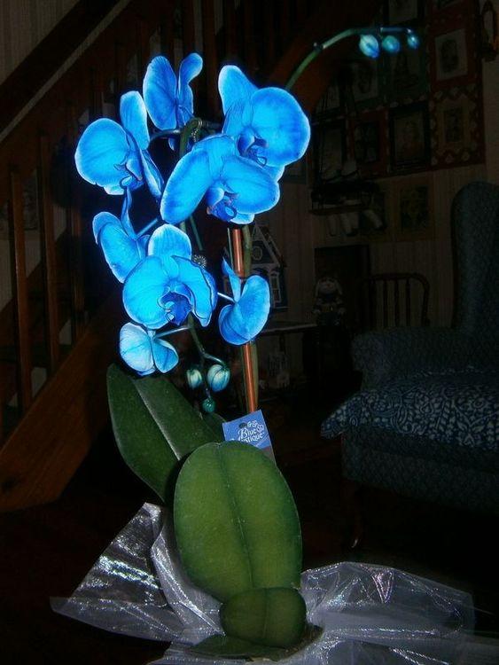 orquídea azul - orquídeas azuis simples