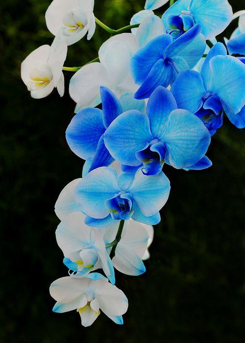 orquídea azul - orquídeas brancas e azuis