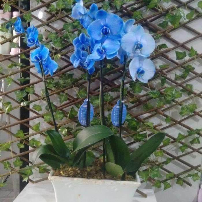 orquídea azul - orquídea azul em painel