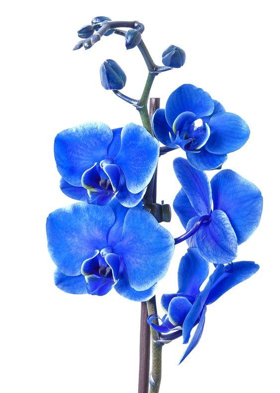 orquídea azul - pétalas de orquídea azul