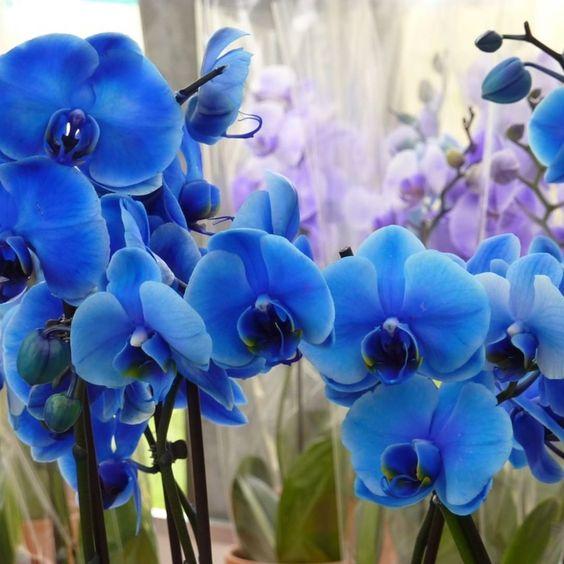orquídea azul - vasos de orquídea azul -