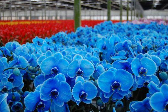 orquídea azul - vivário de orquídeas azuis