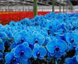 orquídea azul - vivário de orquídeas azuis - Serenata Flowers