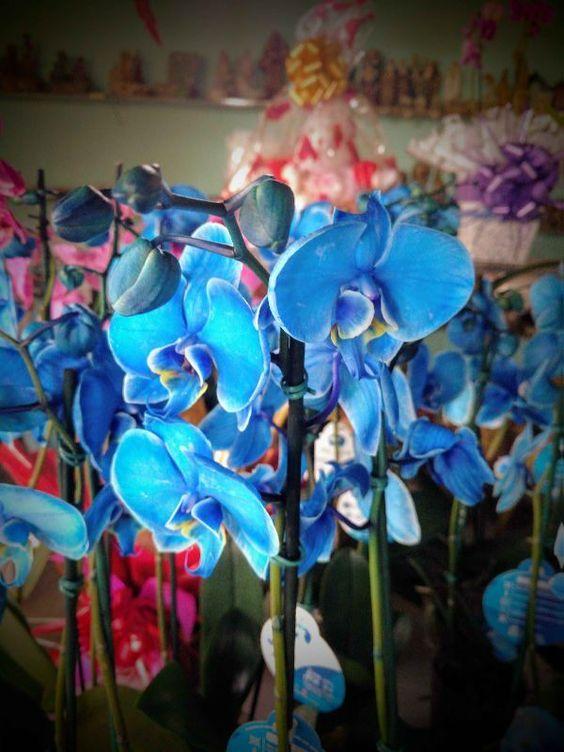 orquídea azul - viveiro de orquídeas azuis