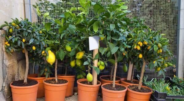 Invista em árvores frutíferas que podem ser cultivadas em vasos