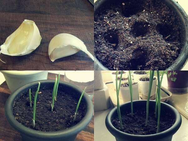 Como plantar alho em vaso