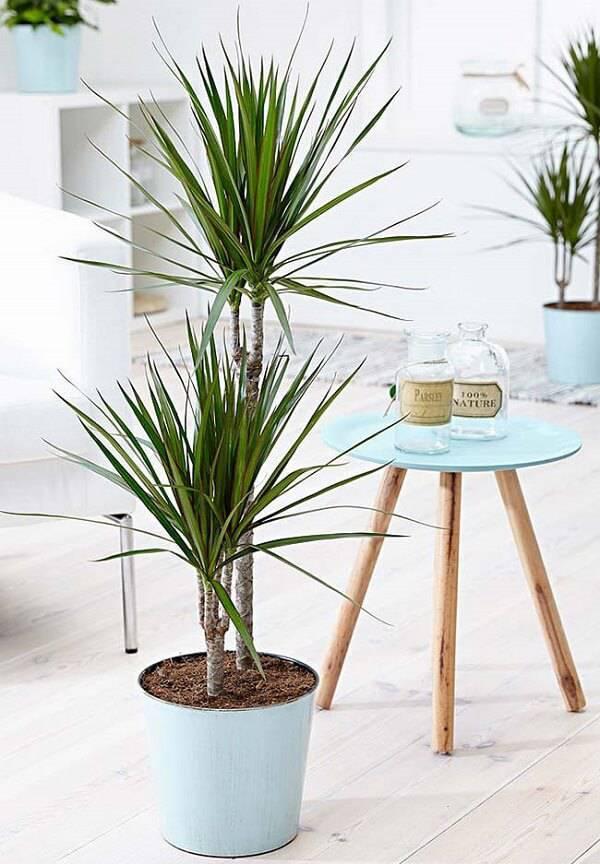 A Palmeira Ráfia é uma das plantas para quarto que melhora a qualidade do ar