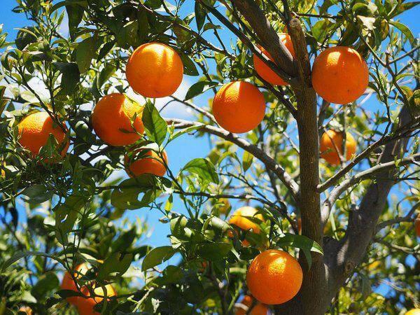 A laranjeira é uma das árvores frutíferas que pode ser cultivada em vasos