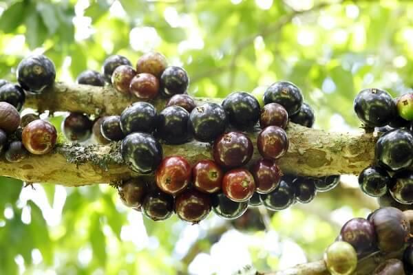 A jabuticabeira é uma das árvores frutíferas brasileiras