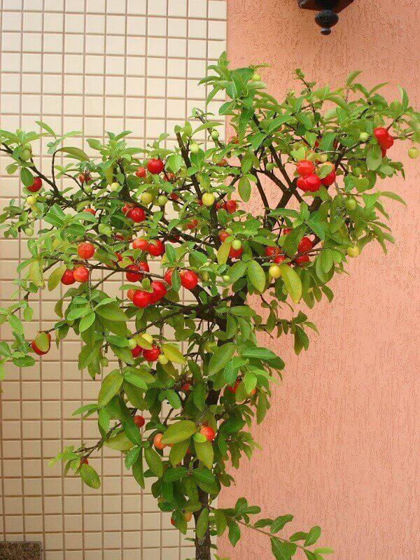 A acerola é uma das árvores frutíferas que podem ser cultivadas em vasos
