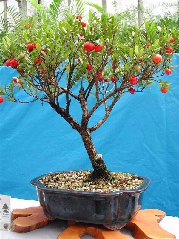 Você pode cultivar árvores frutíferas em vasos