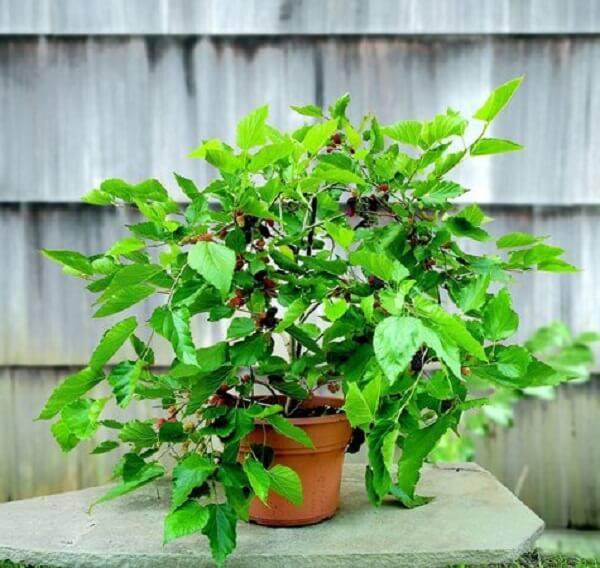 Cultive árvores frutíferas em vasos e se delicie