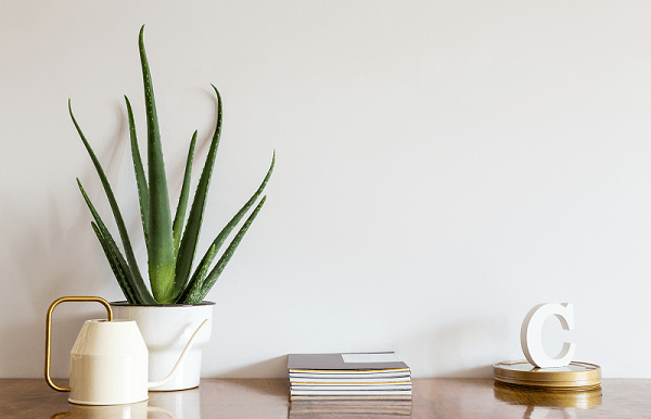 A babosa é uma das plantas para quarto que enfeitam e purificam o ar