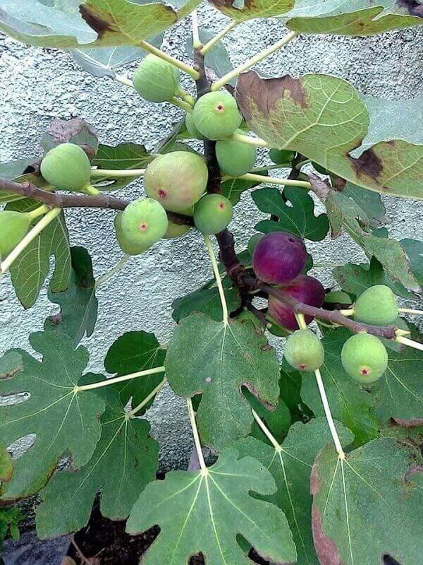 Algumas árvores frutíferas podem ser cultivadas em vaso, como essa figueira