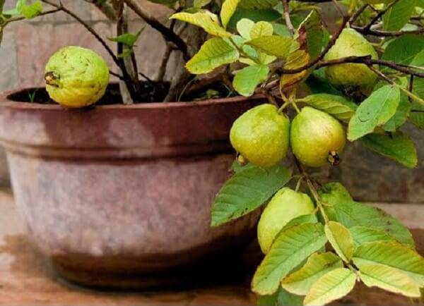 A goiabeira é uma das árvores frutíferas que pode ser cultivada em vasos