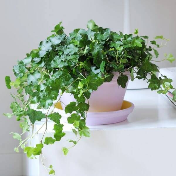 A Hera é uma das plantas para quarto que purificam o ar