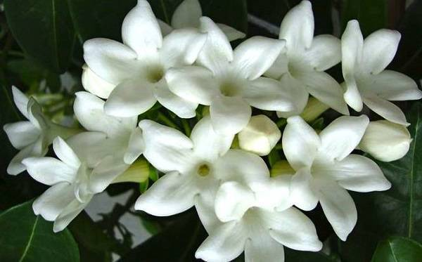 A Jasmim é uma das plantas para quarto que traz efeitos calmantes ao ambiente