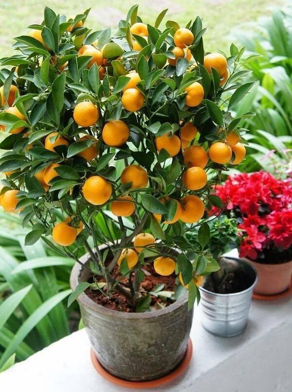 A laranja é uma das árvores frutíferas que pode ser cultivada em vasos pequenos