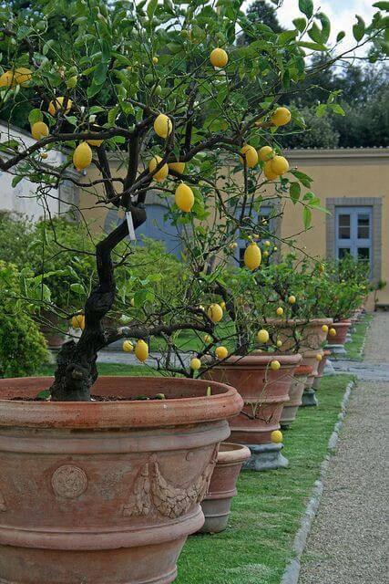 O limão siciliano é uma das árvores frutíferas que pode ser cultivada em vasos