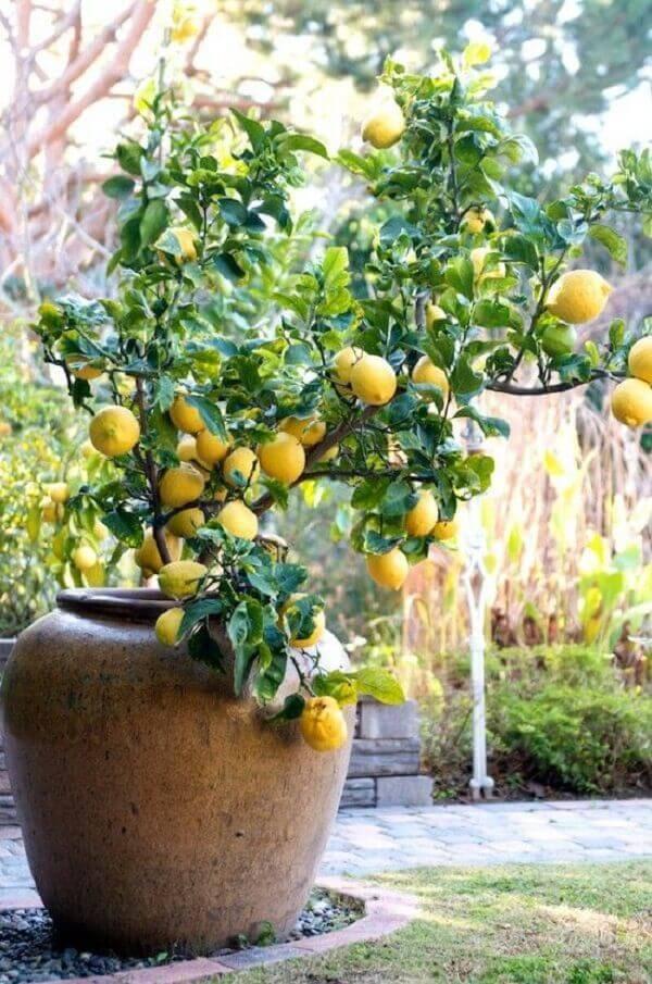 O limoeiro é uma das árvores frutíferas que pode ser cultivada em vaso