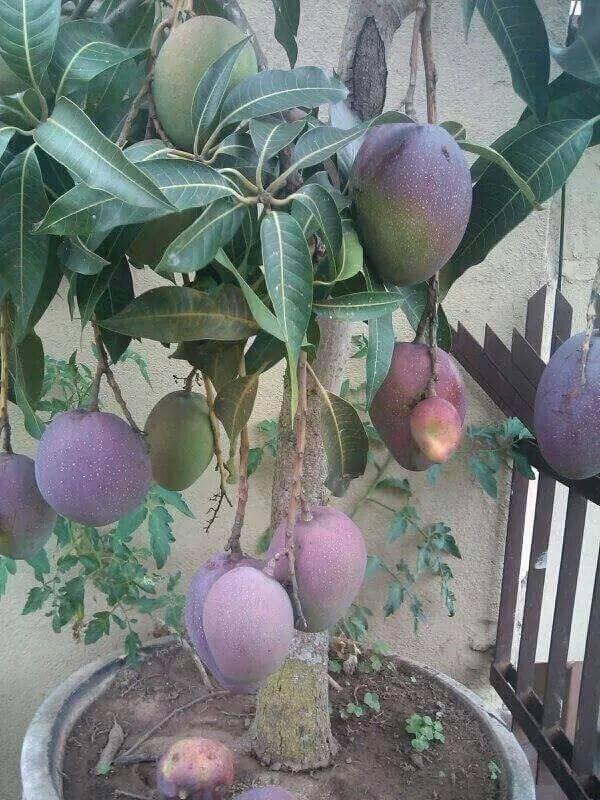 A mangueira carrega também é uma das árvores frutíferas que pode ser cultivada em vasos