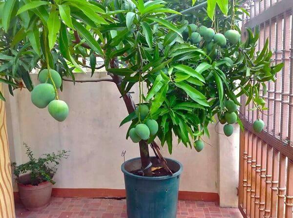 Mini árvore frutífera de manga cultivada em vaso