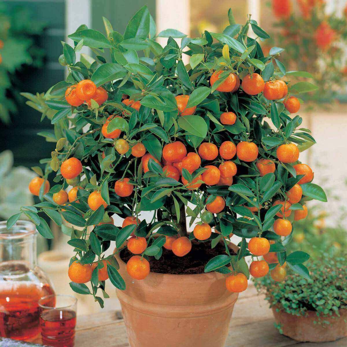 A Mexerica anã é uma das árvores frutíferas que pode ser cultivada em vasos