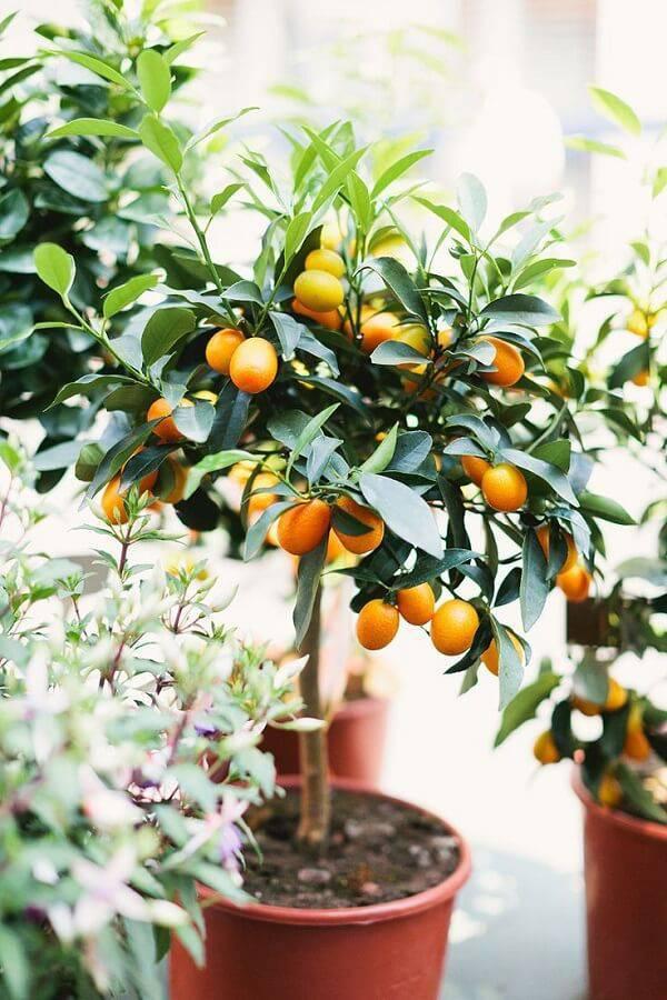 A laranjeira é uma das árvores frutíferas que pode ser cultivada em vaso