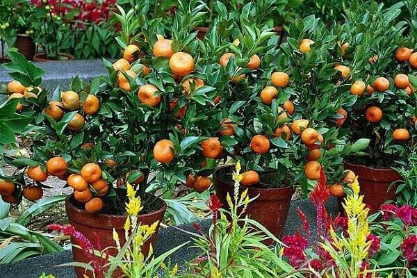 Cultive vários vasos com árvores frutíferas