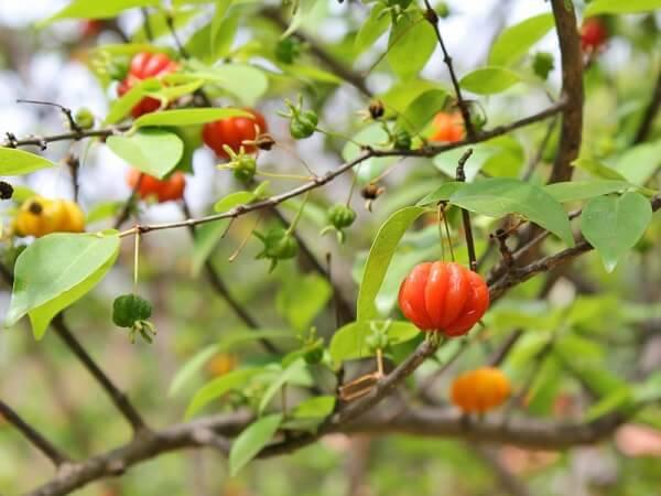 Mini árvore frutífera de pitangueira cultivada em vaso