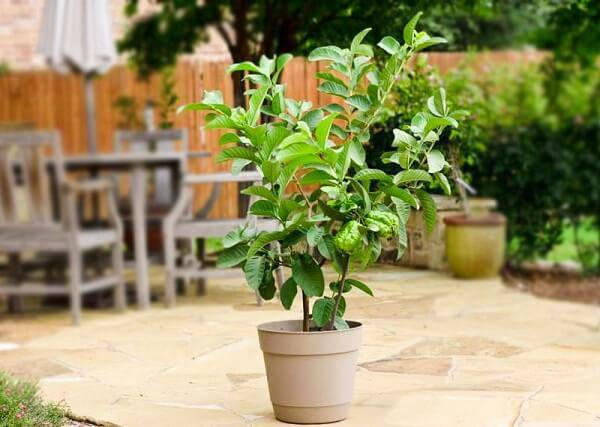 Mini árvore frutífera de goiabeira cultivada em vaso