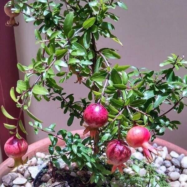 A romã pode ser cultivada dentro de casa