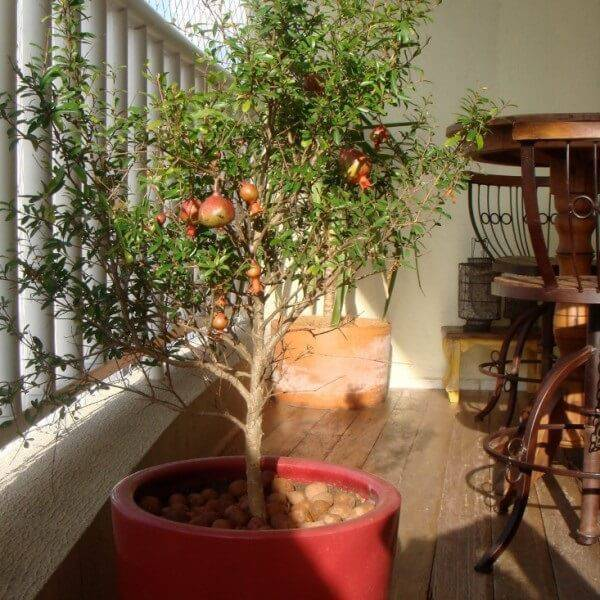 Cultive romã na varanda do apartamento
