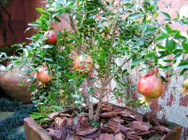 A romãzeira é uma das árvores frutíferas que pode ser cultivada em vaso