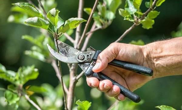 Como realizar a poda de arvores frutíferas sem danificá-las
