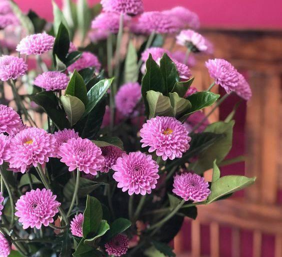 crisântemo - crisântemos roxos em vaso - Instagram