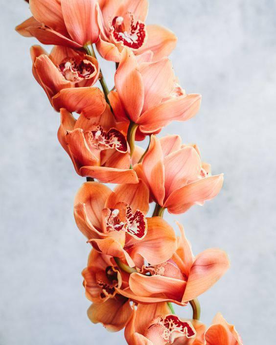 cymbidium - cymbidium laranja grande
