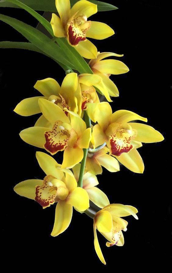 cymbidium - detalhe de orquídea cymbidium amarela