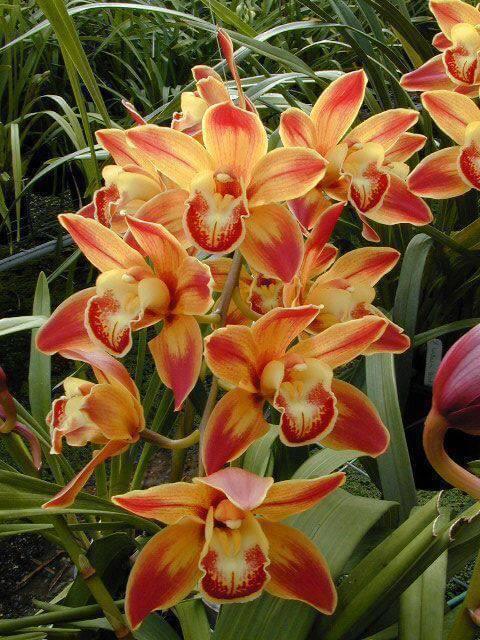 cymbidium - orquídea cymbidium laranja claro