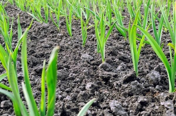 Como plantar alho em casa de forma saudável