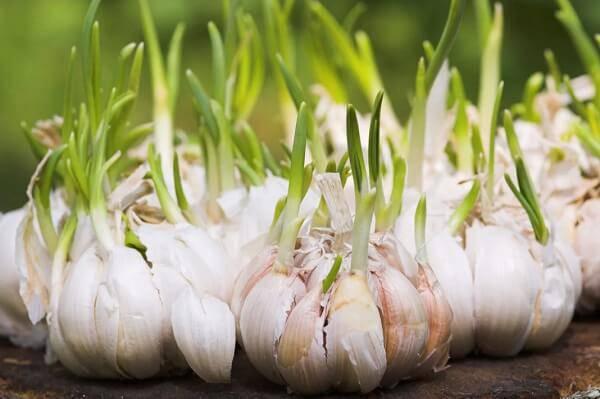 Como plantar alho em casa