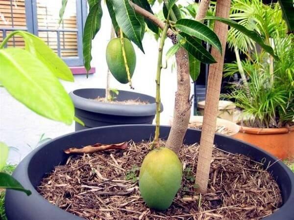 A mangueira é uma das árvores frutíferas que pode ser cultivada em vasos