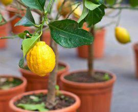 O limoeiro é uma das árvores frutíferas que pode ser cultivada em vasos