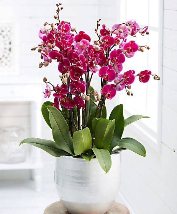 Mini orquídeas rosa