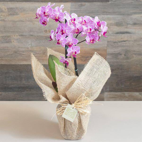 Mini orquídea para entregar de presente