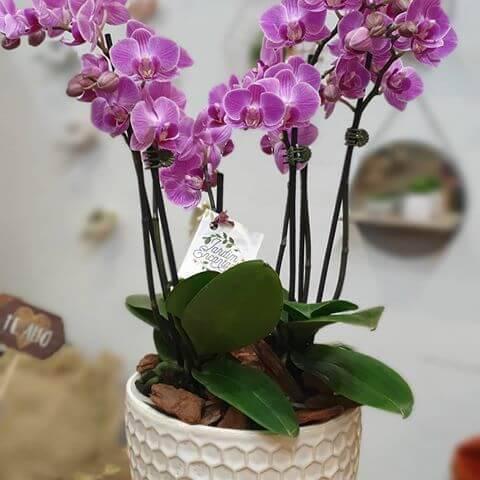 Mini orquídea de presente especial